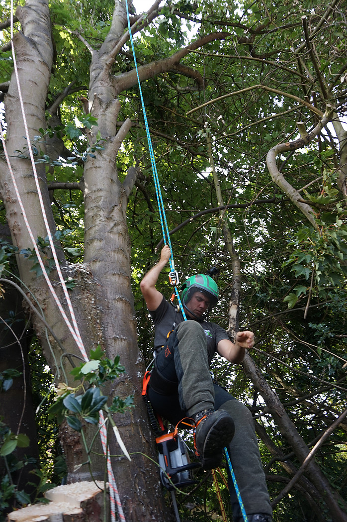 Woodbridge, Suffolk - Sycamore removal